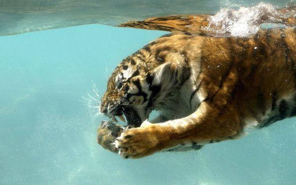 fond d'écran tigres - Page 4 00e19005