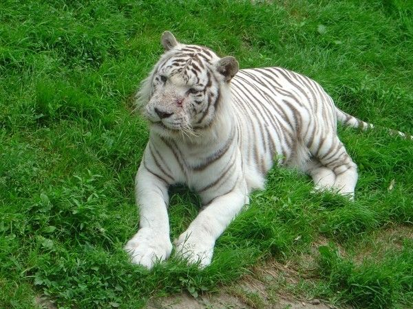 fond d'écran tigres - Page 2 025b8425
