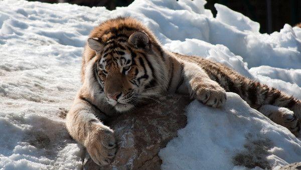 fond d'écran tigres - Page 2 0b2f6eca