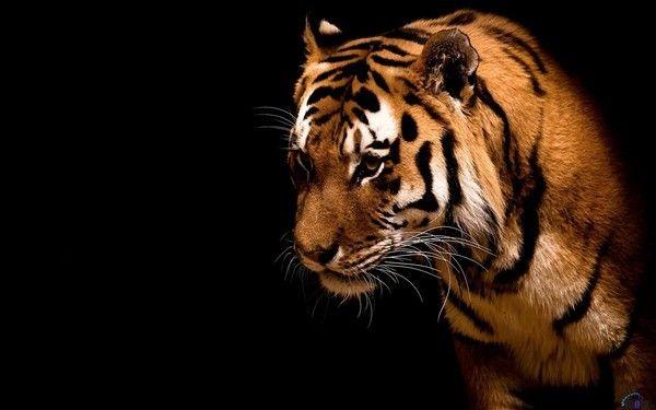fond d'écran tigres - Page 2 1b92b08b