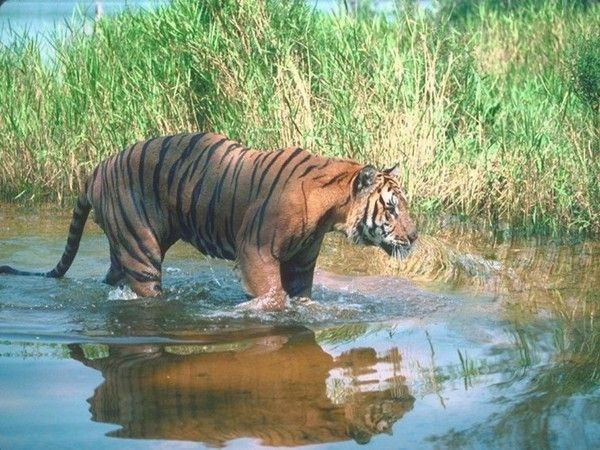 fond d'écran tigres 22caa820