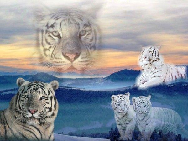 fond d'écran tigres - Page 4 26ffa7ef