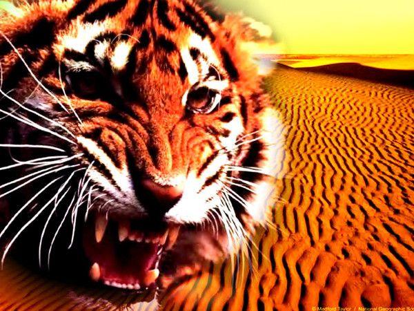 fond d'écran tigres - Page 3 277af7f4