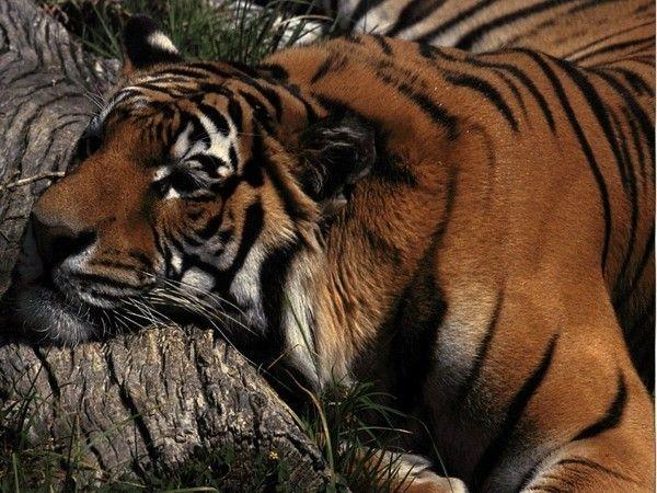 fond d'écran tigres - Page 2 27fd4e05