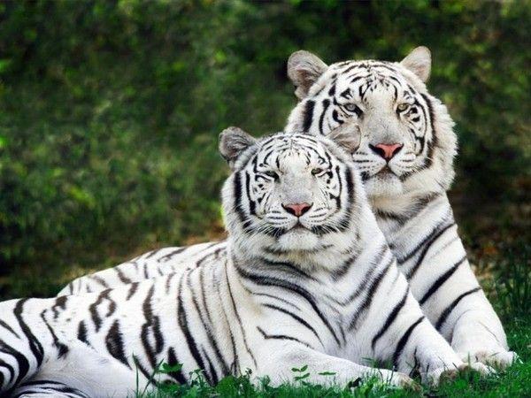 fond d'écran tigres - Page 2 28c4257d