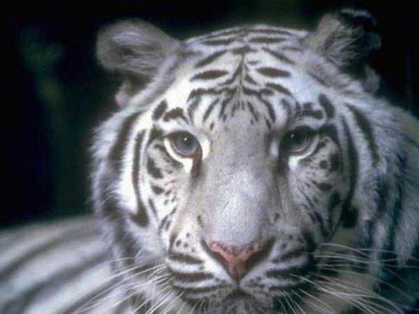 fond d'écran tigres - Page 2 2c744a70