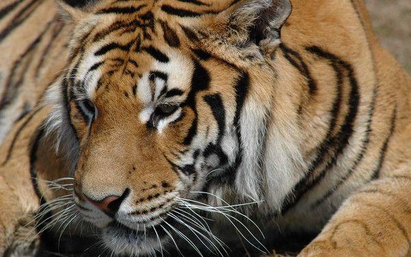 fond d'écran tigres 2f110de0