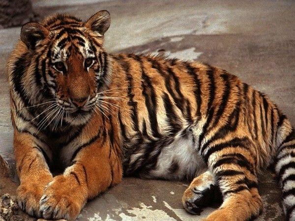 fond d'écran tigres - Page 2 3351d5df
