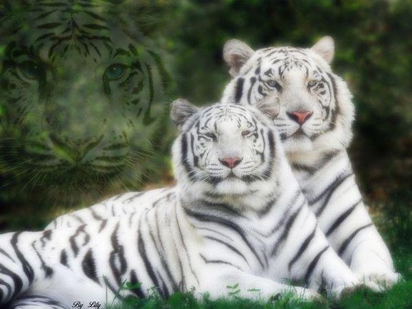 fond d'écran tigres - Page 3 412388c8