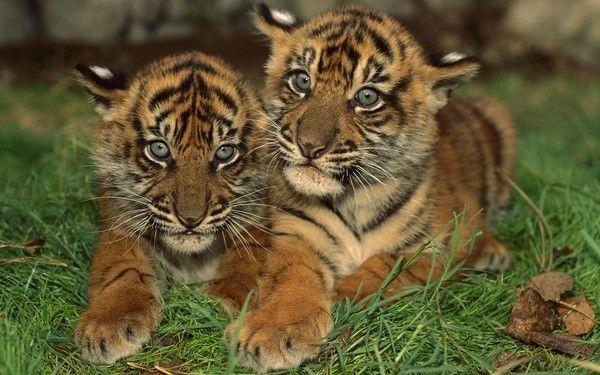 fond d'écran tigres - Page 4 4207e1f1