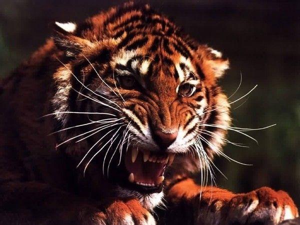 fond d'écran tigres - Page 3 444df598