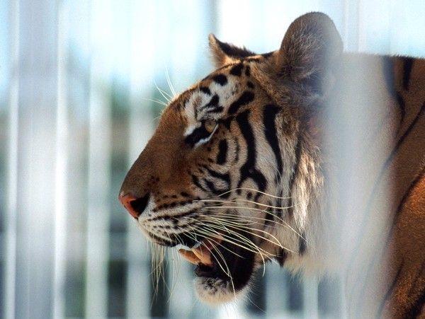 fond d'écran tigres - Page 3 47b145ad