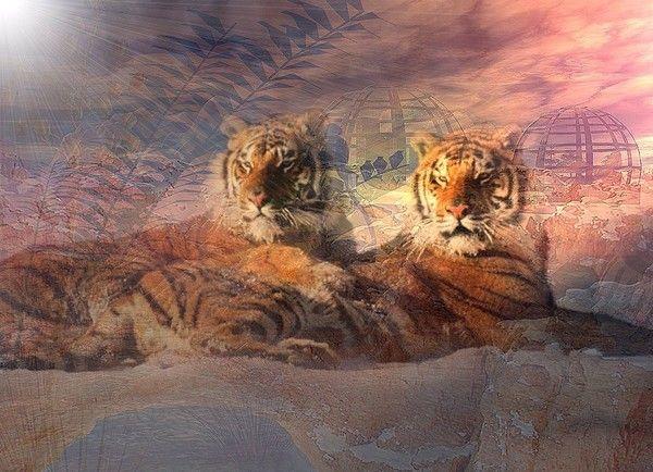 fond d'écran tigres 501155ab