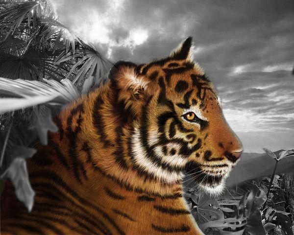 fond d'écran tigres - Page 4 536c434d