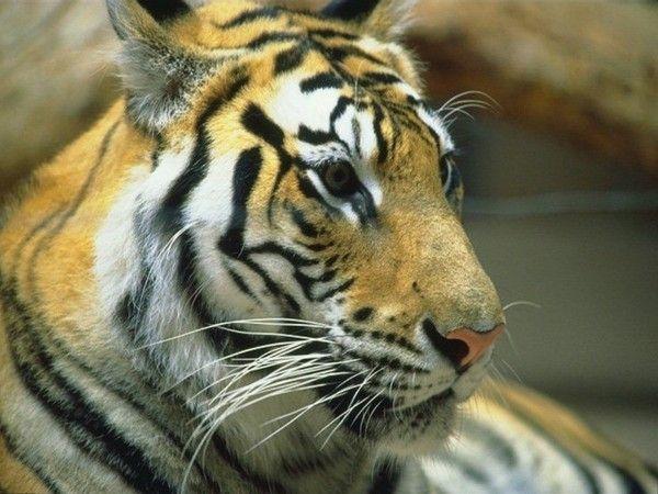 fond d'écran tigres - Page 3 5505378c