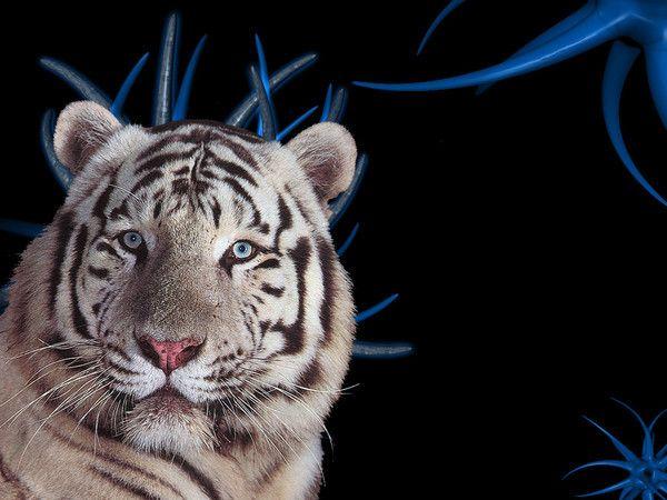 fond d'écran tigres 5887bfb4