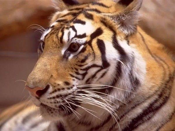 fond d'écran tigres - Page 2 59879c76