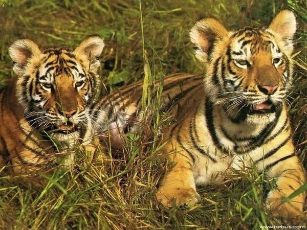 fond d'écran tigres - Page 3 5d6d9cb0