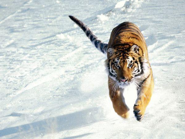 fond d'écran tigres - Page 2 68469841