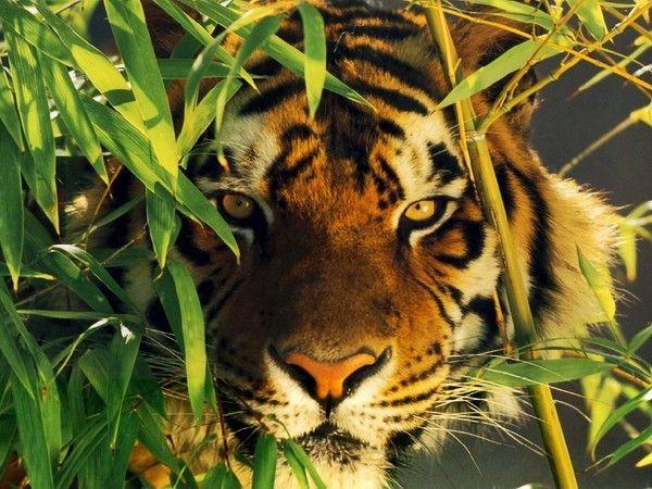 fond d'écran tigres - Page 2 78a0a5f6