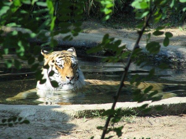 fond d'écran tigres - Page 2 79b2cde9