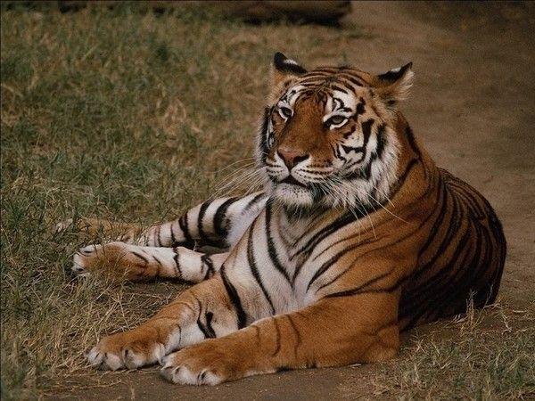 fond d'écran tigres - Page 3 7a57838b