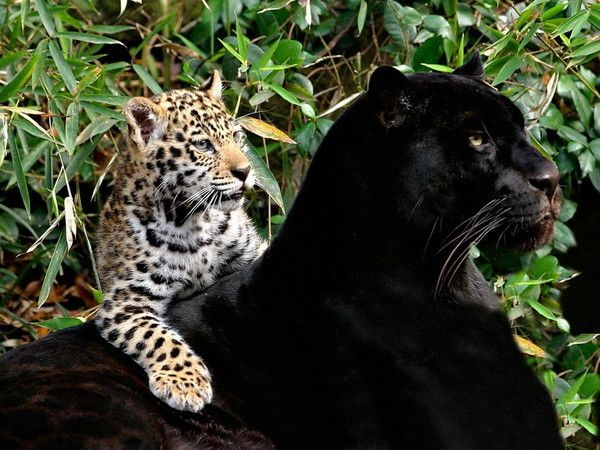 Bien-aimé fond d ecran panthere et guepard - Page 2 AA62