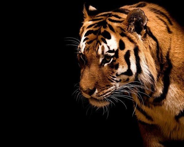 fond d'écran tigres - Page 3 865a8ecf