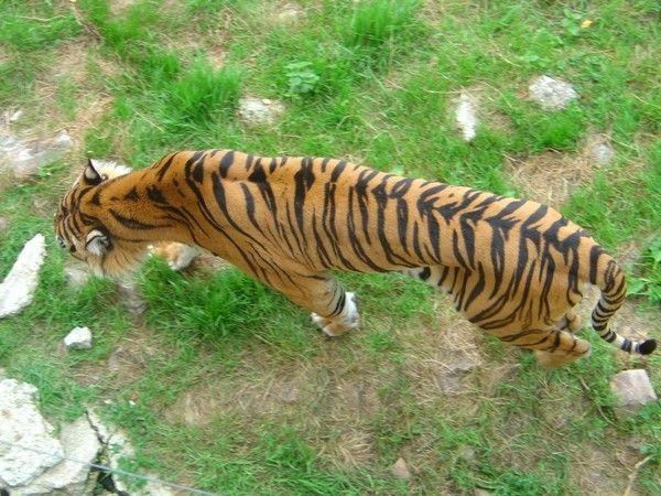 fond d'écran tigres - Page 2 9814e88a