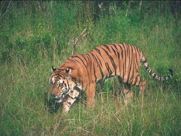 fond d'écran tigres - Page 2 9919bf25