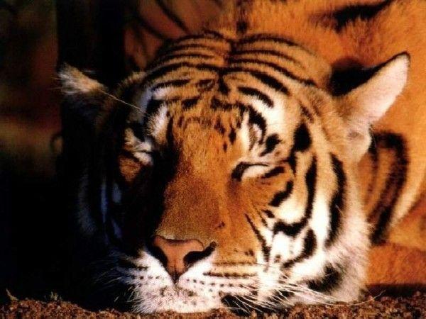 fond d'écran tigres - Page 3 99e6652c