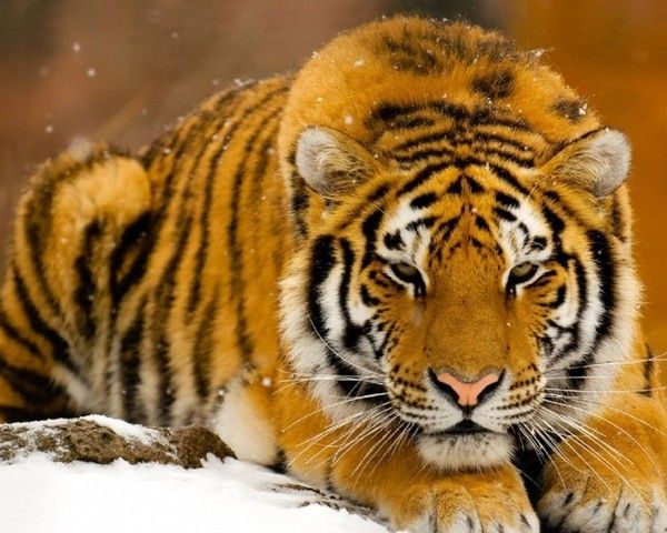 fond d'écran tigres 9f772516