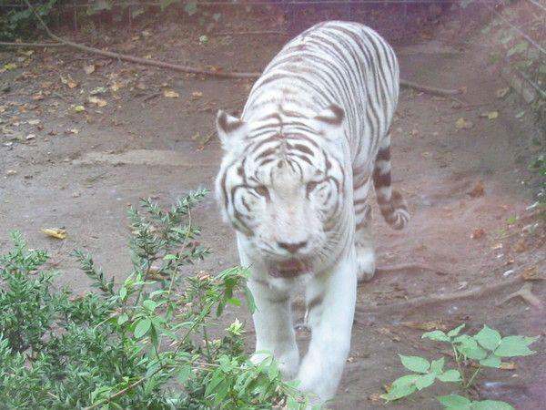 fond d'écran tigres - Page 2 A4a87c4f