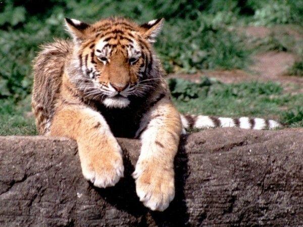 fond d'écran tigres - Page 4 Ae23ee3f