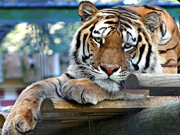 fond d'écran tigres - Page 2 Af3e61bb