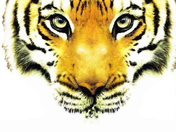 fond d'écran tigres - Page 3 B0afc967