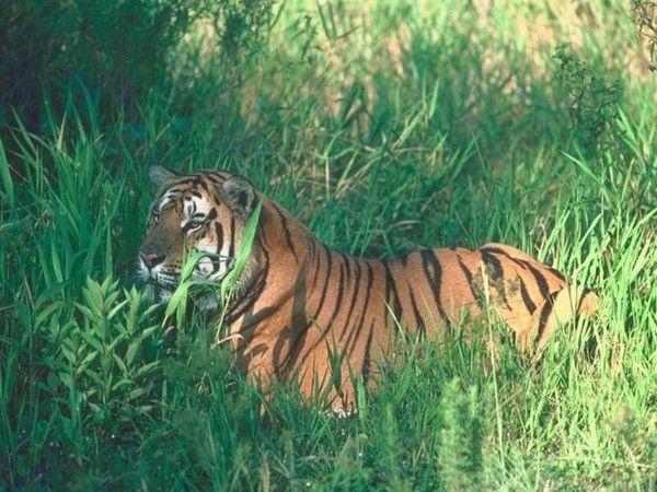 fond d'écran tigres - Page 3 B88c03f7