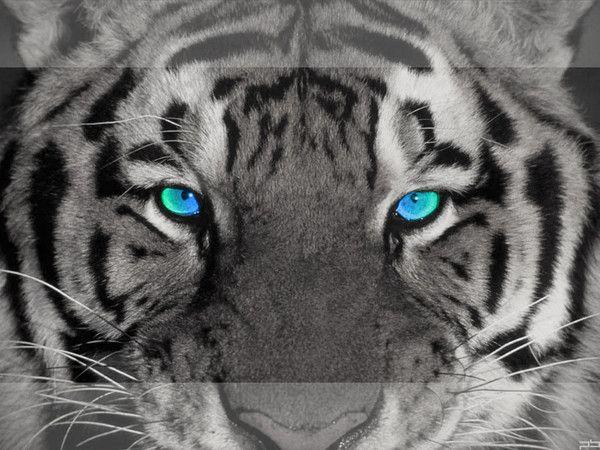 fond d'écran tigres - Page 3 B9196364