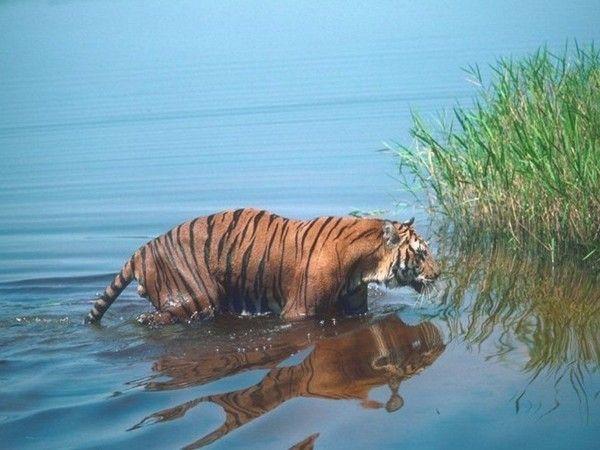 fond d'écran tigres Ba61a7a2