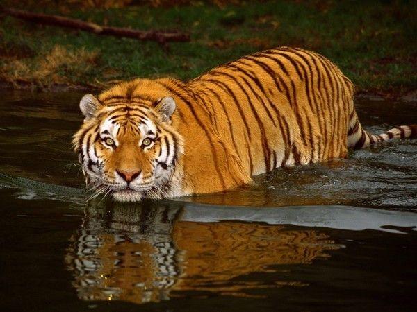 fond d'écran tigres Be118fb3