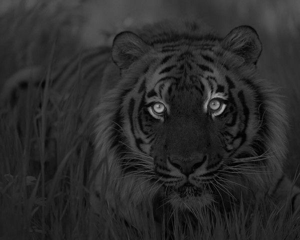 fond d'écran tigres - Page 4 Befb94e4