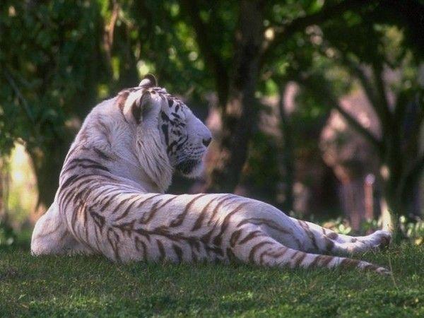 fond d'écran tigres C27f39c5
