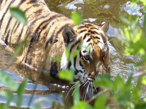 fond d'écran tigres C6851467