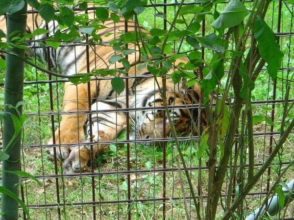 fond d'écran tigres - Page 3 C7f53e57