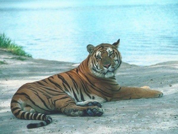 fond d'écran tigres - Page 2 Cab056a3
