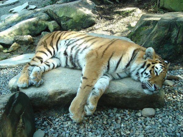 fond d'écran tigres Cd5ad696