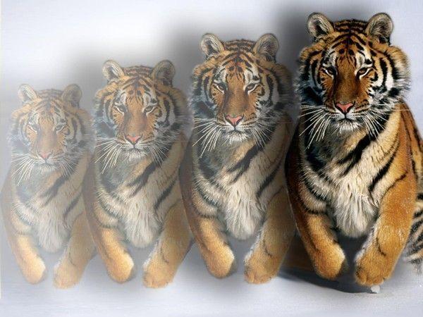 fond d'écran tigres - Page 2 D0ce296a