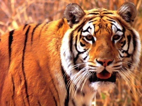 fond d'écran tigres - Page 3 D4589a30