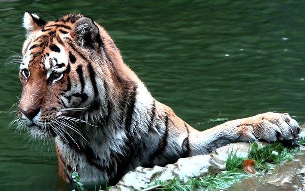 fond d'écran tigres - Page 2 D6b616b0