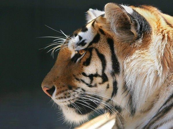 fond d'écran tigres - Page 2 Ea63bc67